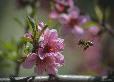 Пролетая над цветком персика
