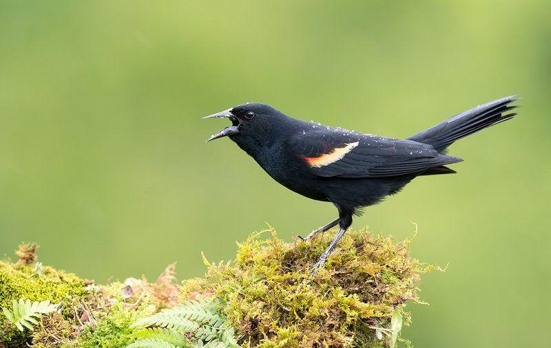 красноплечий чёрный трупиал, red-winged, blackbird, трупиал Красноплечий чёрный трупиал - Red-winged Blackbirdphoto preview