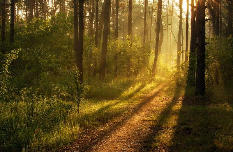 landscape, пейзаж, утро, лес, сосны, деревья, солнечный свет, солнечные лучи, солнце, природа, весна тропинка к солнцуphoto preview