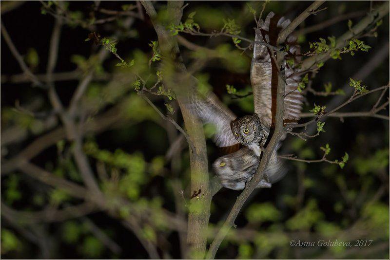 птицы, природа, совы, сплюшка, otus scops, весна, апрель, 2017, краснодарский край, краснодар 18+photo preview
