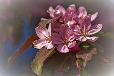 Яблони в цвету, какое чудо ...