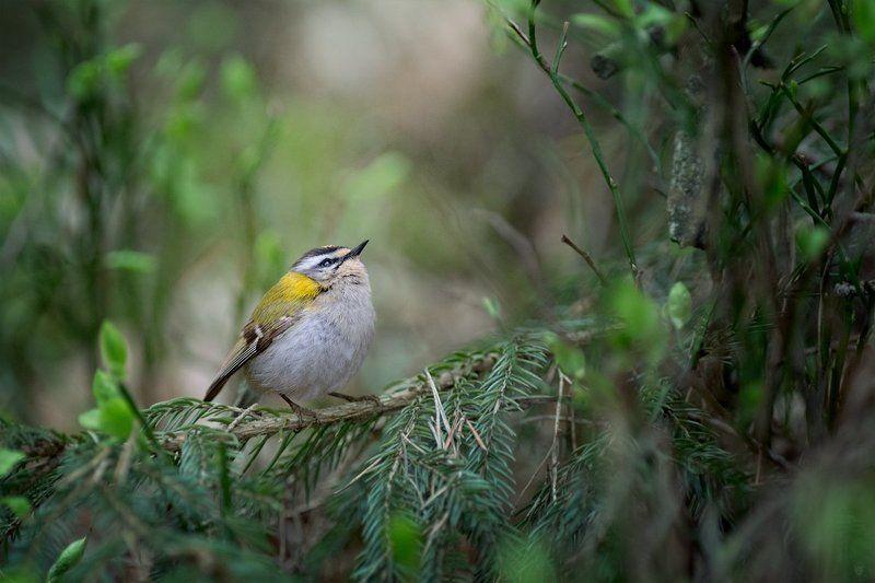 firecrest, wildlife, bird Dreamerphoto preview
