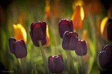 Тюльпаны бывают разные