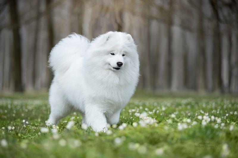 собака, самоедская лайка, самоед, весна, парк. Весенний портретphoto preview