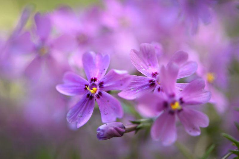 природа, макро, весна, цветы, флокс шиловидный Сиреневый туманphoto preview