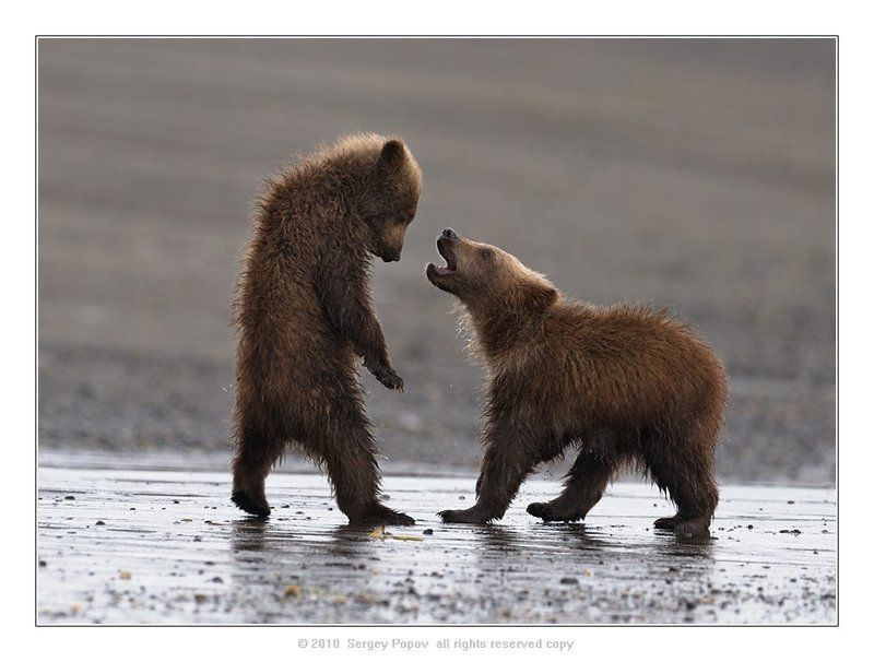 медвежата, аляска, отношения, медведи, дикая природа *****photo preview