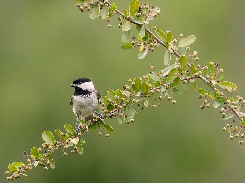 черношапочная гаичка, black-capped chickadee, синичка Черношапочная гаичка - Black-capped Chickadeephoto preview