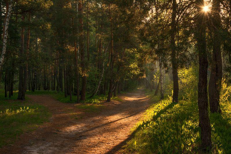 landscape, пейзаж, утро, лес, сосны, деревья, солнечный свет, солнечные лучи, солнце, природа, весна, ландыши, березы утро в лесуphoto preview