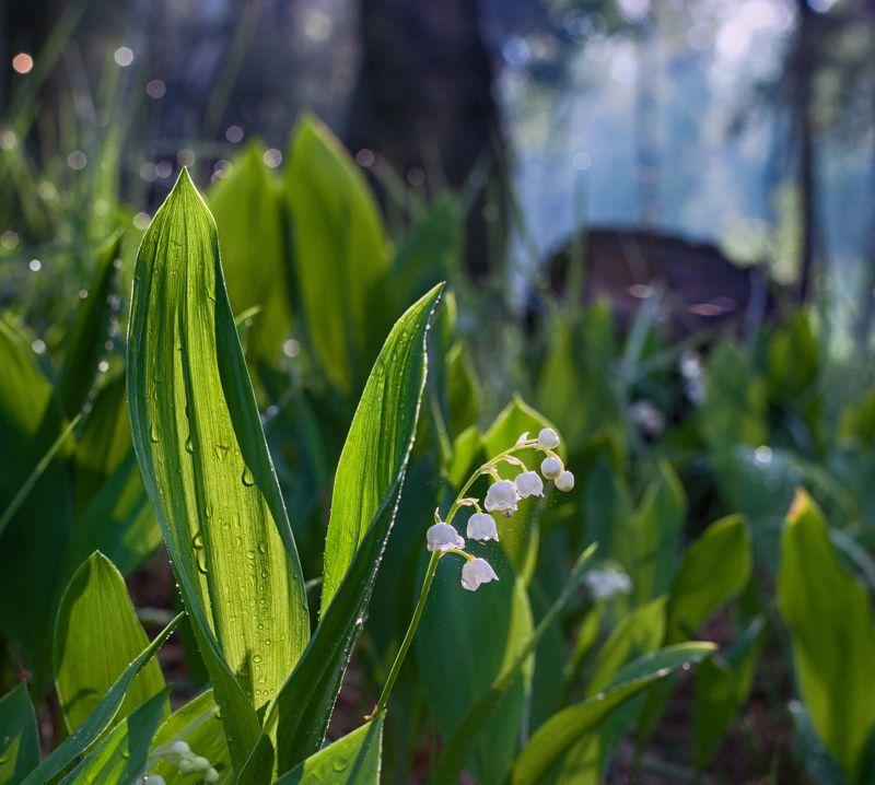 nature, ландыши, цветы, природа, растение, весна весенние зарисовкиphoto preview