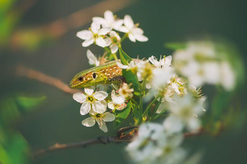 цветы, белый, свет, радуга, блики, весна, животное, ящерица Весны приметыphoto preview