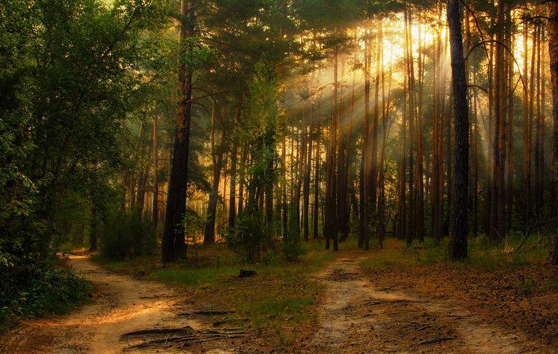 landscape, пейзаж, утро, лес, сосны, деревья, солнечный свет, солнечные лучи, солнце, природа, весна, лето, тропинка утро в лесуphoto preview
