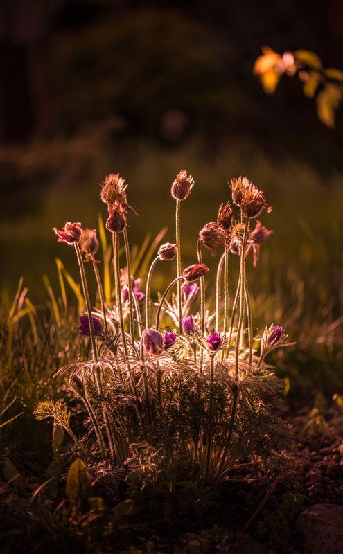 природа, макро, весна, цветы, прострел, сон-трава Медная полянаphoto preview