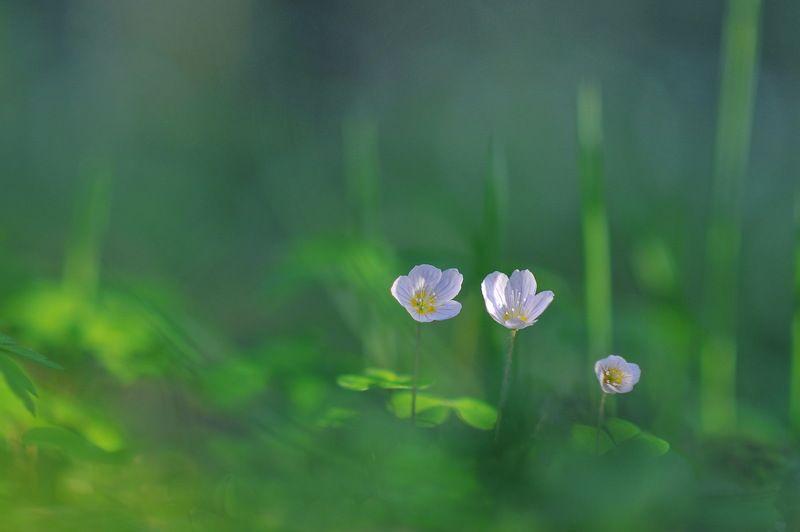 цветы, весна, природа Кислицаphoto preview