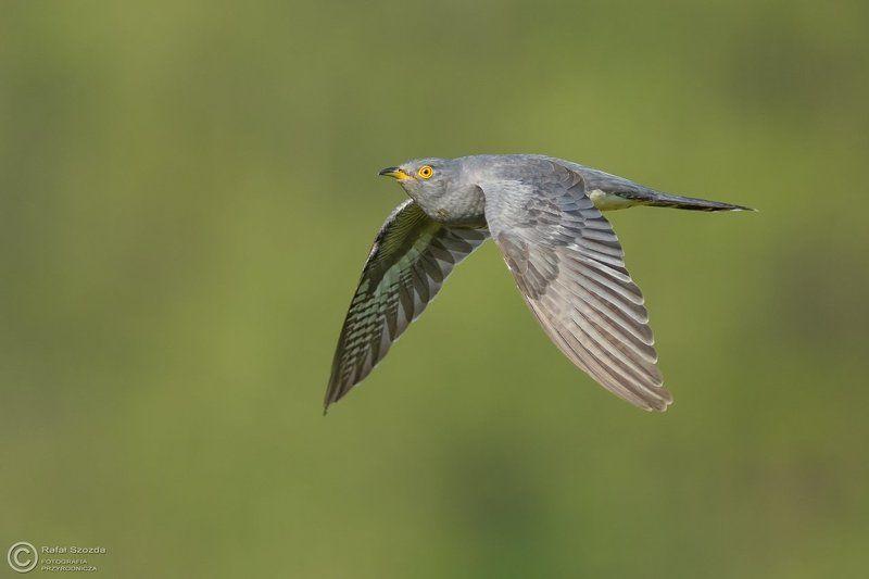 birds, nature, animals, wildlife, colors, spring, flight, nikon, nikkor, meadow, nowa sol, poland Kukułka, Common Cuckoo (Cuculus canorus) ... 2017rphoto preview