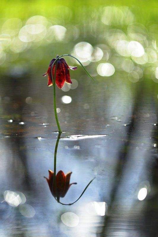 рябчик, малый, fritillaria, meleagroides, самарский лес Алый малыйphoto preview