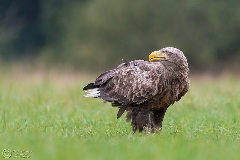 birds, nature, animals, wildlife, colors, spring, nikon, nikkor, meadow Bielik, White-tailed Eagle (Haliaeetus albicilla) ...photo preview