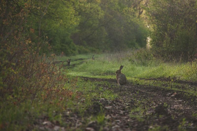 животные, природа, заяц, лес Шесть ушейphoto preview