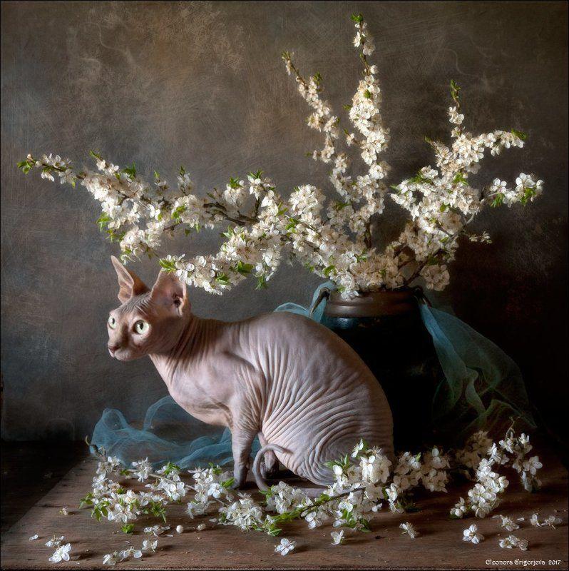 сфинкс, голая кошка, весна, натюркотики, натюрморт, цветущие ветки, цветы, белые, слива, цветущая Ню в цветущих веткахphoto preview