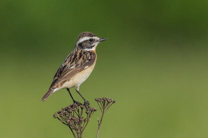 birds, nature, animals, wildlife, colors, spring, nikon, nikkor, meadow Pokląskwa, Whinchat (Saxicola rubetra) ...photo preview