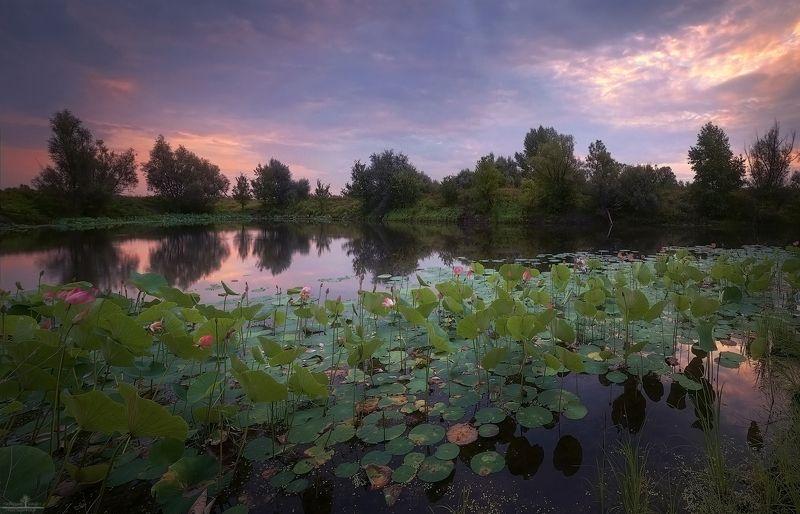 лотосы Озеро лотосовphoto preview