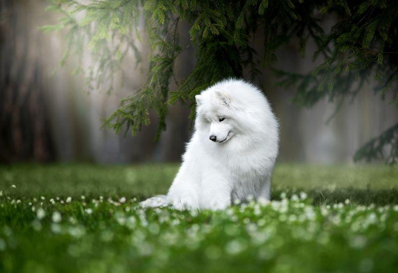 собака, самоед, весна, лес Весеннее настроениеphoto preview