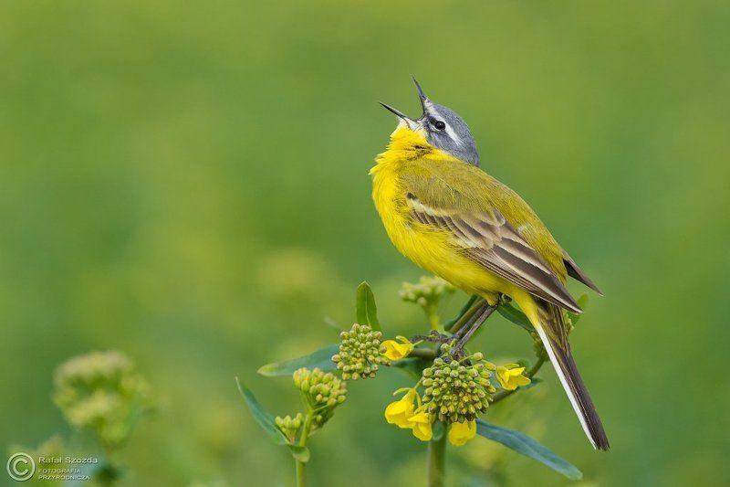 birds, nature, animals, wildlife, colors, spring, nikon, nikkor, meadow Pliszka żółta, Yellow Wagtail (Motacilla flava) ...photo preview