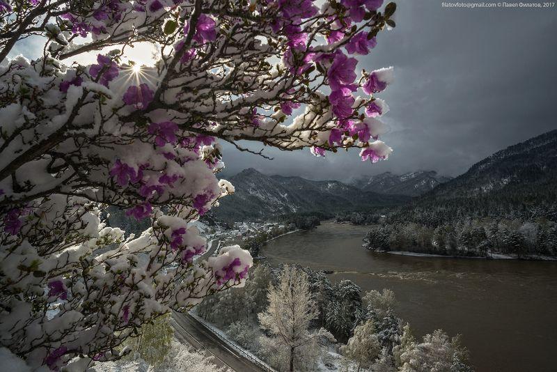 #алтай_чудеса_природы #алтай #сибирь #siberia #павел_филатов #pavel_filatov #filatovpavelaltai #маральник #снег #май #рододендрон_ледебура #весна #altai #snow #rhododendron #spring Солнце на минуткуphoto preview