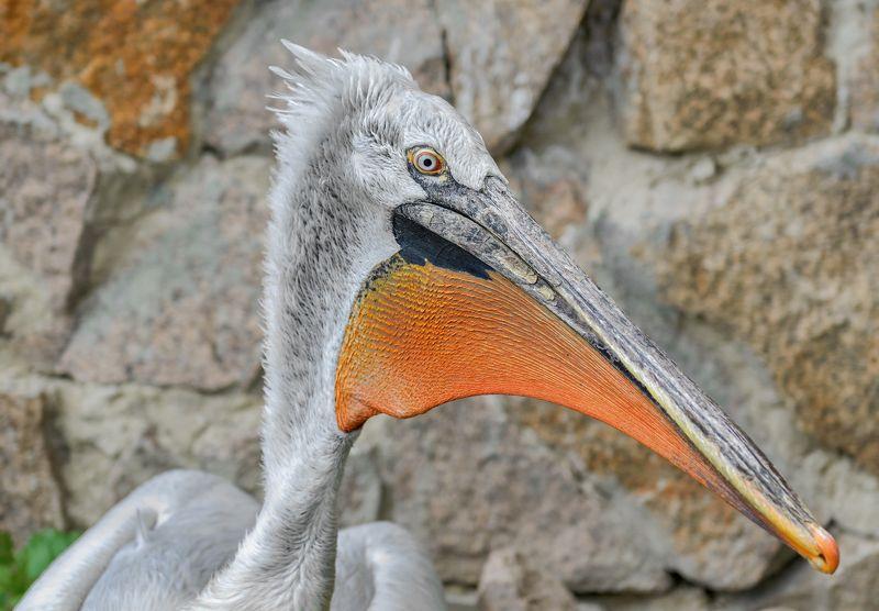пеликан кудрявыйphoto preview