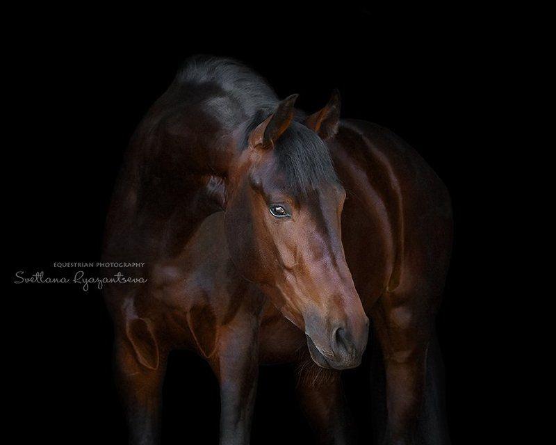 horse, black, isolated, head, portrait, лошадь, лошади, портрет Кембриджphoto preview