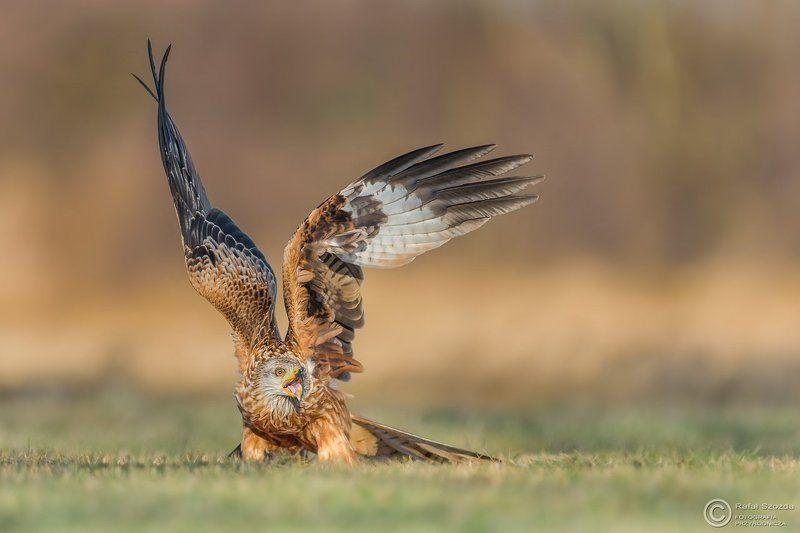 red kite, birds, nature, animals, wildlife, colors, winter, flight, fight, nikon, nikkor, nowa sol, lubuskie, poland Kania Ruda, Red Kite (Milvus milvus) ... 2017rphoto preview