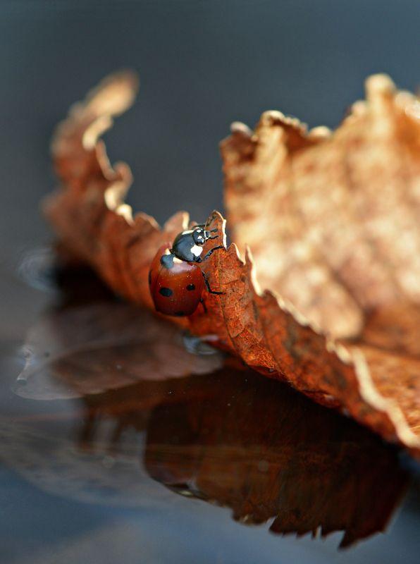 природа, макро, осень, опавший лист, вода, плавсредство, насекомое, божья коровка \