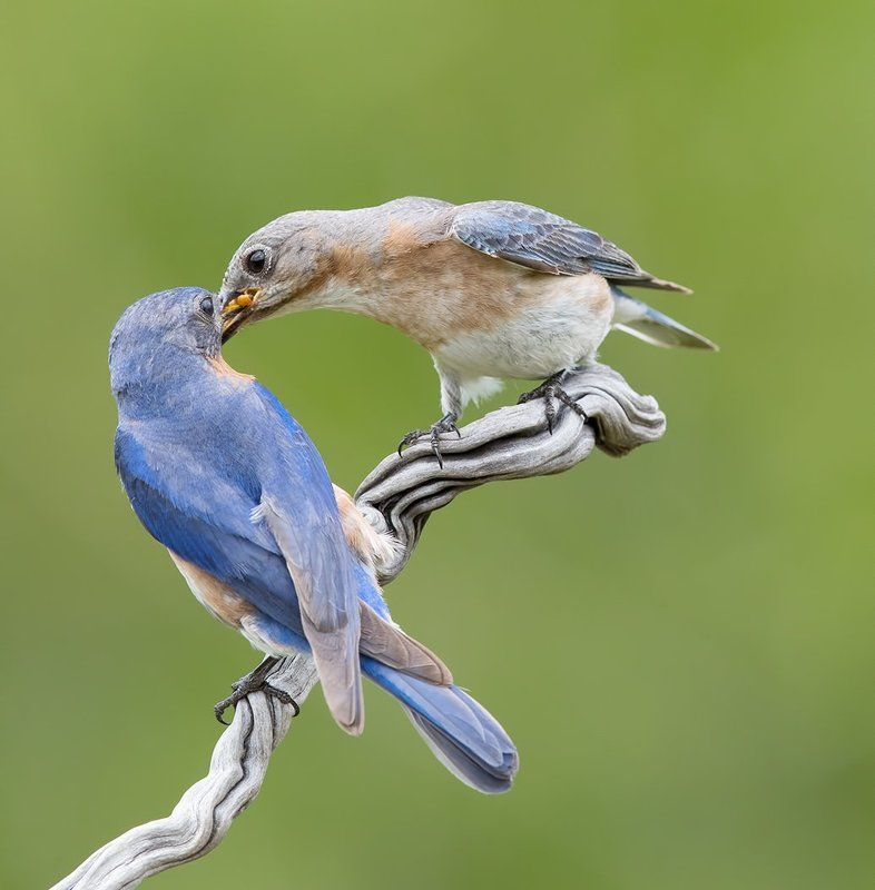 восточная сиалия, eastern bluebird, bluebird Feeding Time! Eastern Bluebirds - Восточная сиалияphoto preview