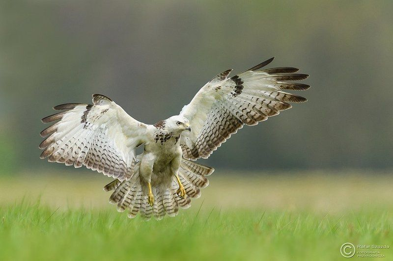 birds, nature, animals, wildlife, colors, spring, nikon, nikkor, meadow Myszołów, Common Buzzard (Buteo buteo) ... 2017rphoto preview