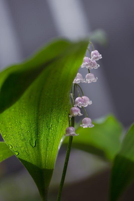 природа, макро, весна, цветы, розовый ландыш, капли дождя Застенчивыйphoto preview
