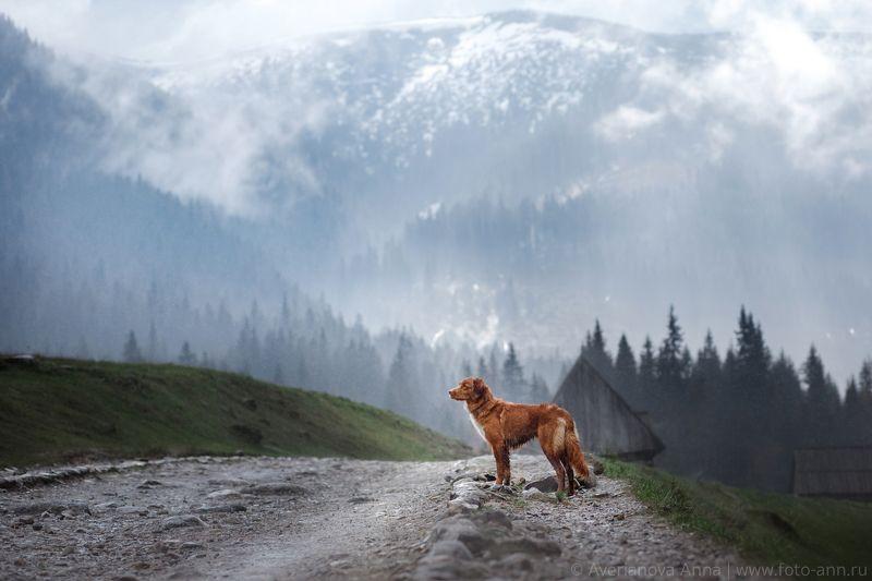 Горы, Закопане, Собака, природа Dolina Chocholowskaphoto preview