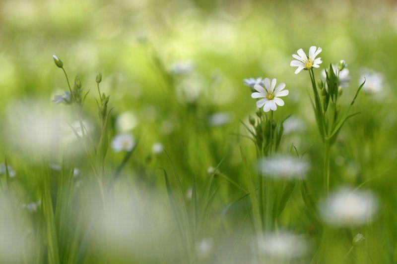 звездчатка, ланцетолистная, звездочка, жестколистная, ланцетовидная, stellaria, holostea, самарский лес Белые пятна весныphoto preview