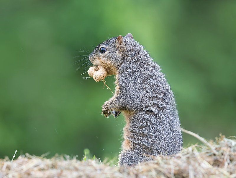 лисья белка, fox squirrel, белка, squirrel, Белка -Squirrelphoto preview