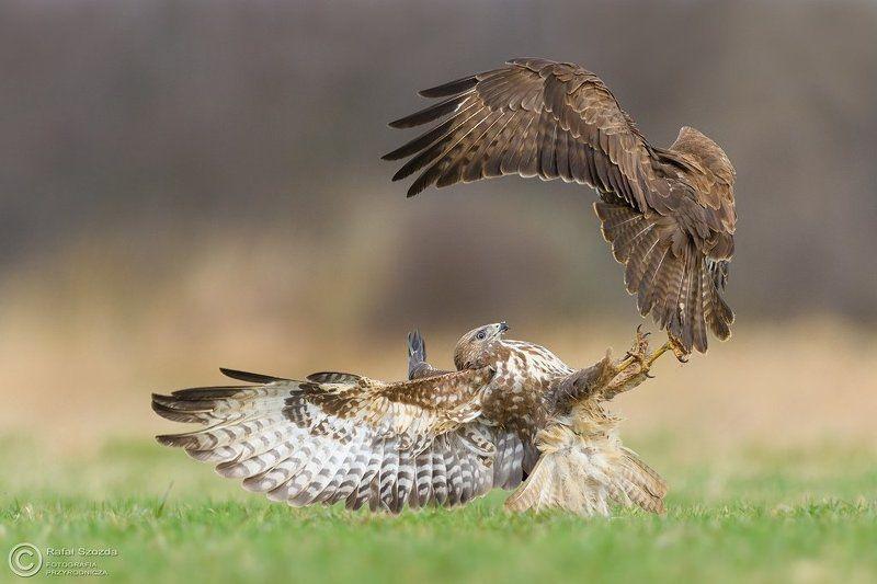 birds, nature, animals, wildlife, colors, spring, nikon, nikkor, meadow Myszołowy, Common Buzzard (Buteo buteo) ... 2017rphoto preview