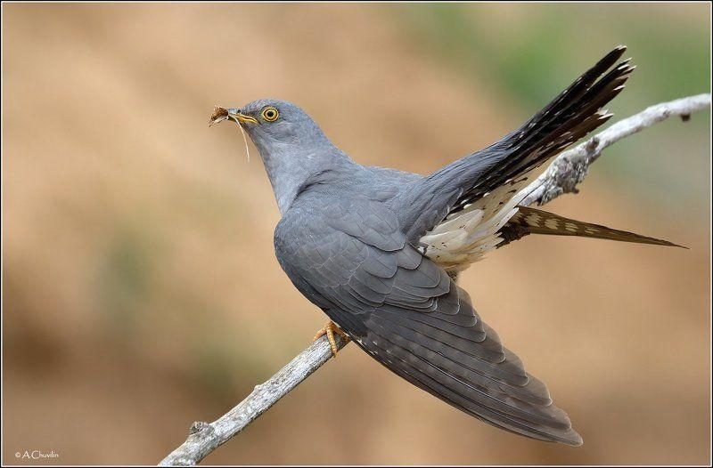 птица,кукушка Кукушкаphoto preview