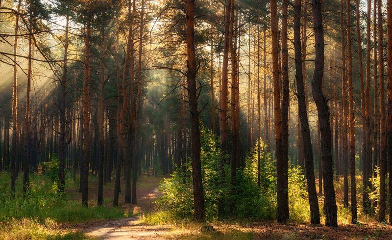 landscape, пейзаж, утро, лес, сосны, деревья, солнечный свет, солнечные лучи, солнце, природа, весна утро в лесуphoto preview