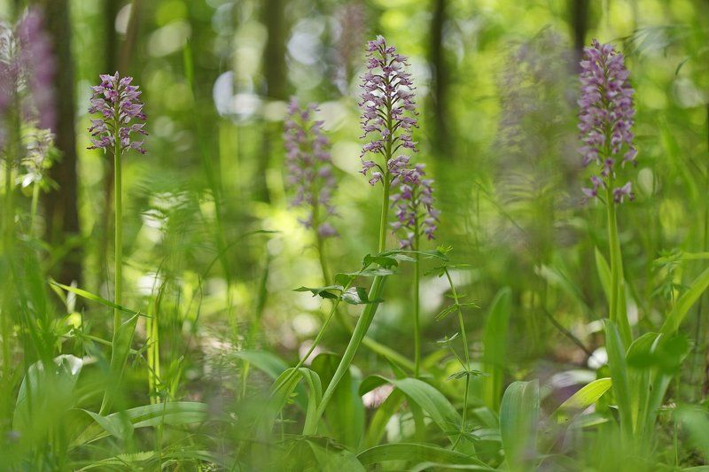 ятрышник, шлемоносный, шлемовидный, orchis, militaris, самарский лес В зарослях орхидейphoto preview