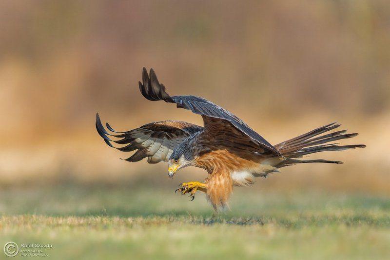 birds, nature, animals, wildlife, colors, spring, nikon, nikkor, meadow Kania Ruda, Red Kite (Milvus milvus) ... 2017rphoto preview