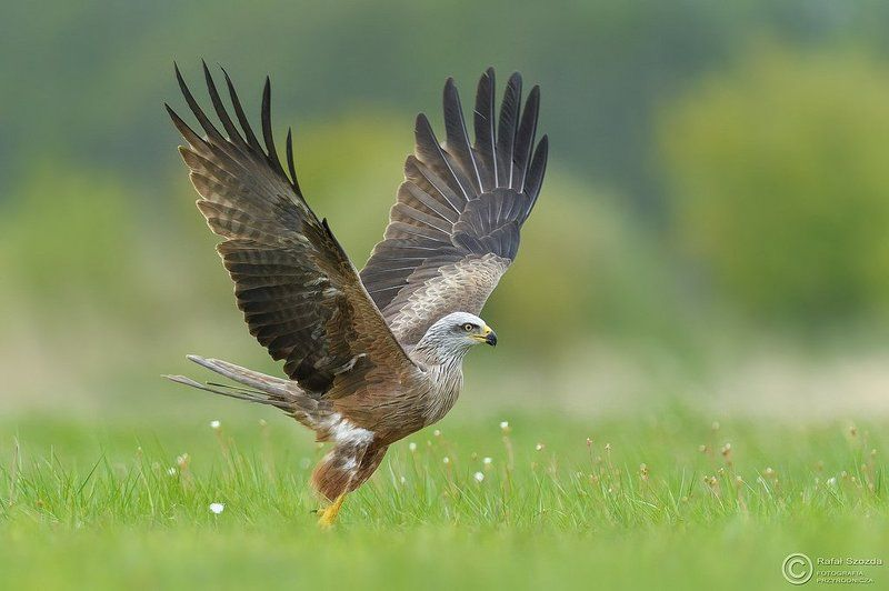 birds, nature, animals, wildlife, colors, spring, nikon, nikkor, meadow Kania Czarna, Black Kite (Milvus migrans) ... 2017rphoto preview