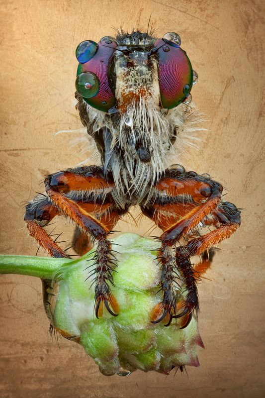 ктырь, robber fly, asilidae Из серии \