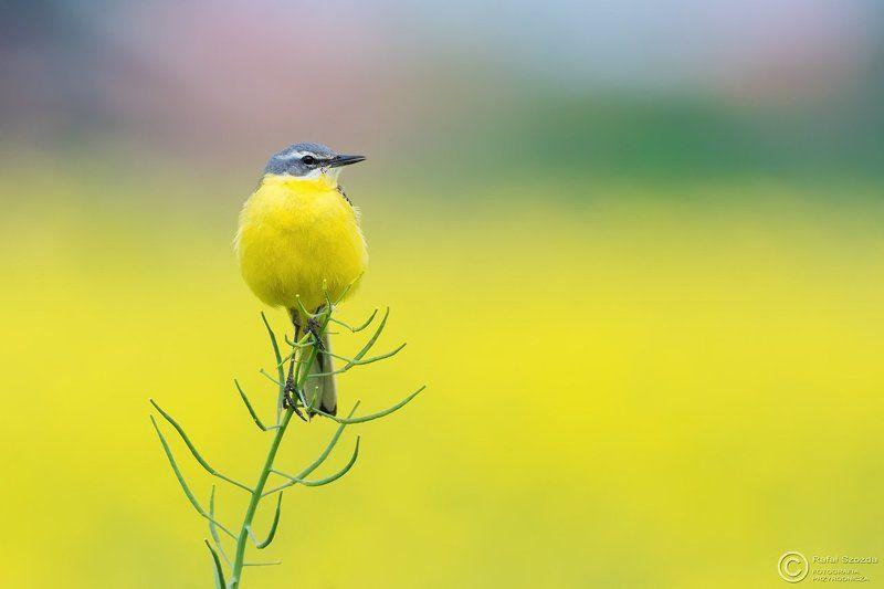 birds, nature, animals, wildlife, colors, spring, meadow, nikon, nikkor, nowa sol, lubuskie, poland Pliszka żółta, Yellow Wagtail (Motacilla flava) ...photo preview
