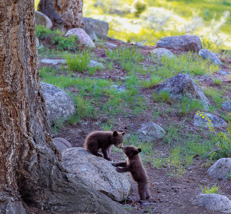 bear, animal, wild, wildlife, yellowstone love storyphoto preview