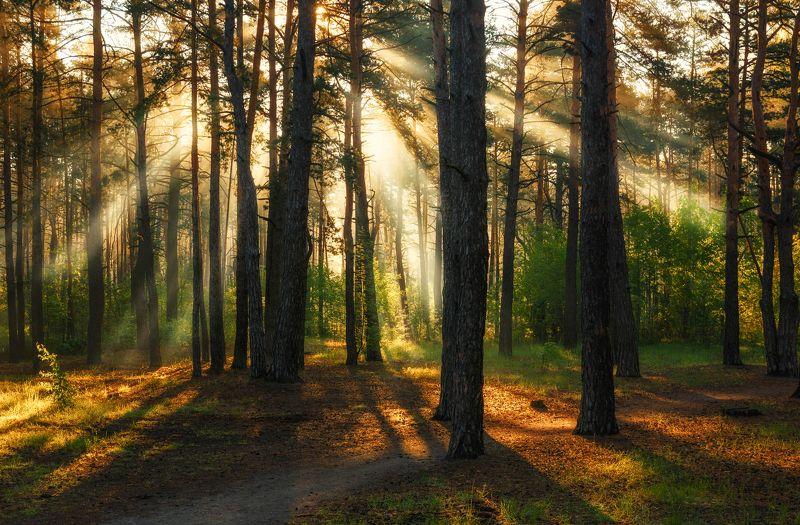 landscape, пейзаж, утро, лес, сосны, деревья, солнечный свет, солнечные лучи, солнце, природа, утро в лесуphoto preview