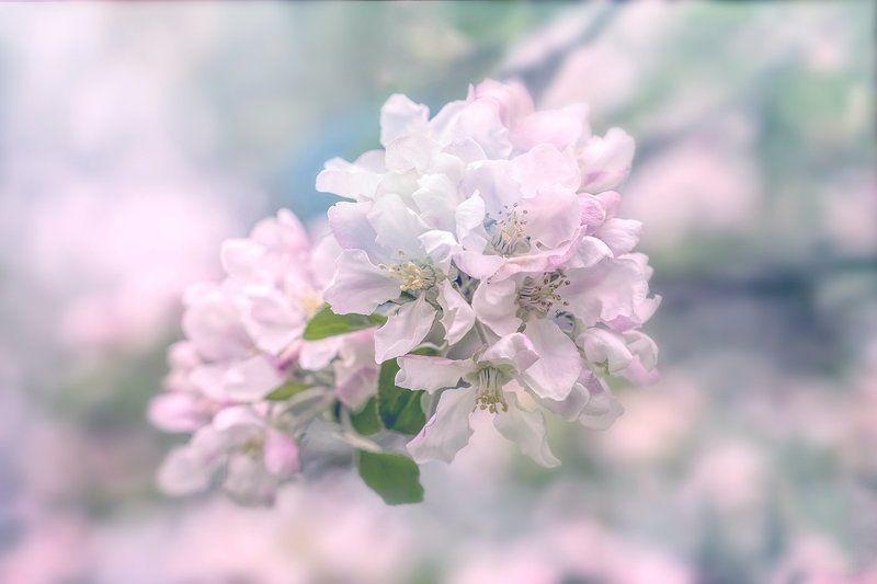 весна, яблони, цветение Яблони цветут...photo preview