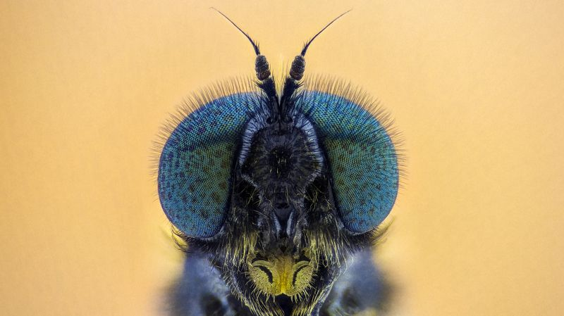 ceclii, macro, extrememacro, insect, animals, fly, макро, муха photo preview