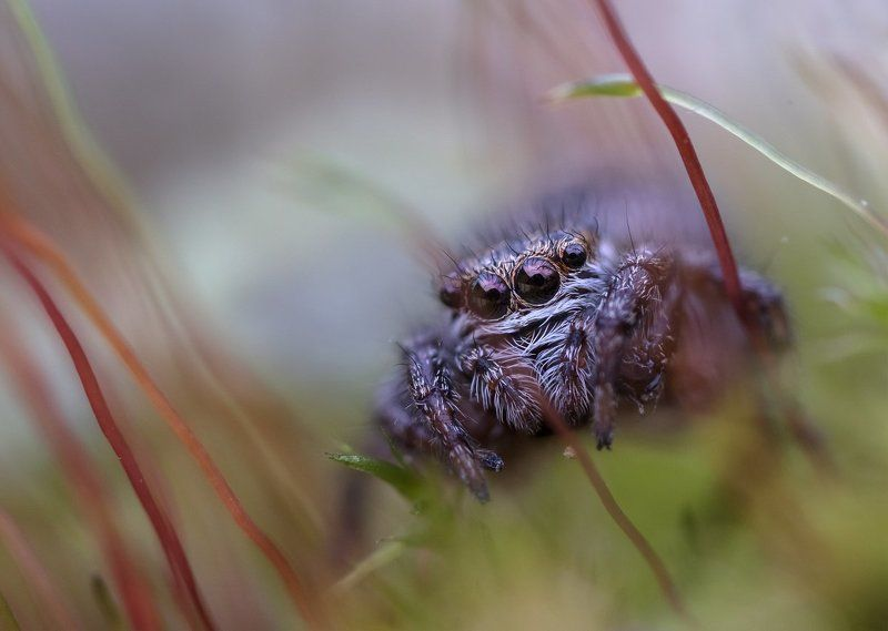 паук-скакунчик оООоphoto preview